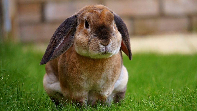 Ciekawostki o królikach